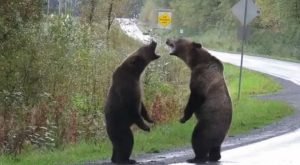 dvoboj grizlijev