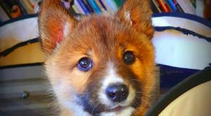 dingo avstralski divji pes