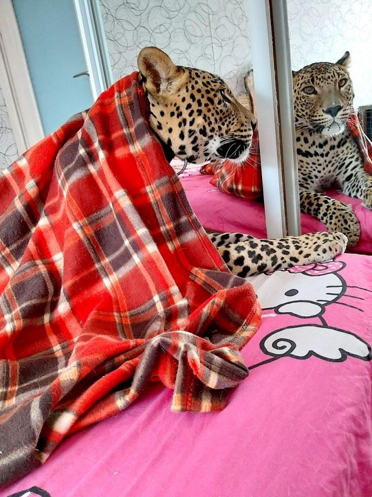 leopard kot hišni ljubljenček