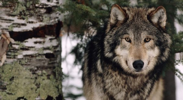 Volkovi na Pokljuki