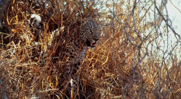 leopard ubil otroka