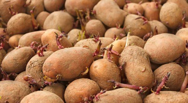 kako preprečiti kaljenje krompirja?