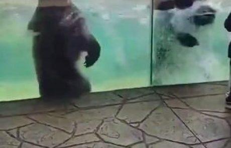 Video, ki se mu čudi ves svet: Medveda v živalskem vrtu priredila pravi šov