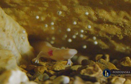 Izlegla se je prva človeška ribica, poglejte posnetek!