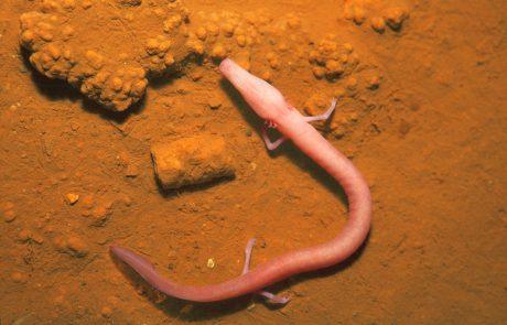 Zaradi glivične bolezni človeški ribici morda grozi izumrtje
