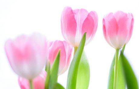 Amsterdamske oblasti opozarjajo na prevare s čebulicami tulipanov