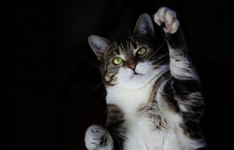 Mačke ne pristanejo vedno na svojih tačkah: Na Dunaju se v povprečju vsak dan poškoduje 15 mačk, ki padejo z okenske police