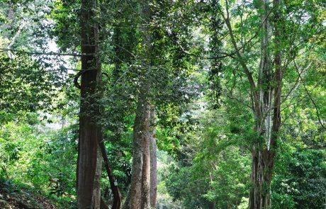 V Indiji v samo 12 urah zasadili 66 milijonov dreves