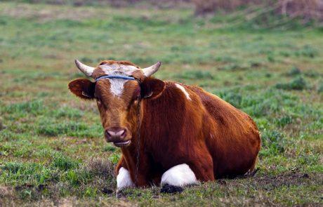 V Dalmaciji že peti dan iščejo pretkanega bika Jerryja, ki je iz klavnice pobegnil na svobodo