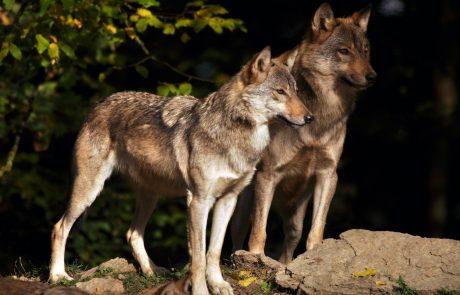 Volk na planini Starijski vrh ponoči pokončal 10 ovac