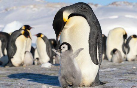 Največja ledena plošča na svetu se približuje odročnemu otoku v južnem Atlantiku, kjer živi več tisoč pingvinov in tjulnjev