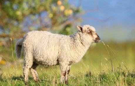 """Super projekt: Ovce kot """"naravne kosilnice"""" bodo pomagale pri varstvu okolja"""