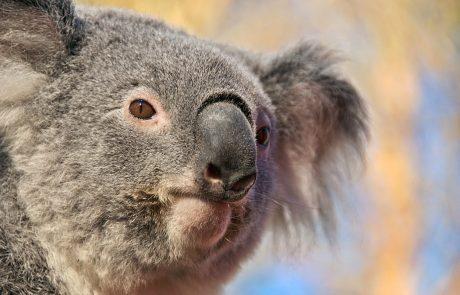 Koala je sredi peklenske vročine v Avstraliji ustavila skupino kolesarjev, ker je bila grozljivo žejna