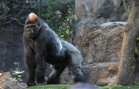 Morilca gorile Rafiki je doletela roka pravice