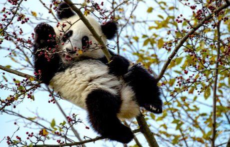 Samička panda v živalskem vrtu na Dunaju bo dobila novega fanta s Kitajske