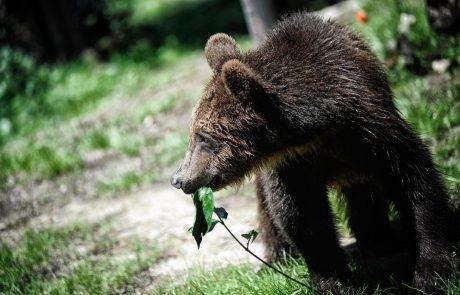 Pozor, medvedi po Sloveniji so se zbudili iz zimskega spanja in so na pohodu: Sprehajalce in pohodnike opozarjajo, naj bodo previdni, pse pa naj imajo na povodcih