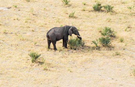 Iz Bocvane prihajajo novice o skrivnostnih množičnih poginih slonov