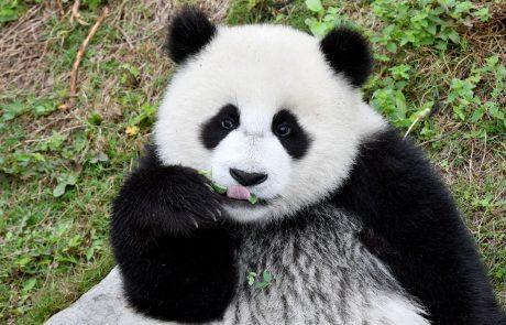 Video dneva: Dunajski panda samček Yuan Yuan je svoj 20. rojstni dan praznoval s čisto pravo torto