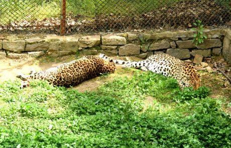 Pobegli leopard še vedno na prostosti