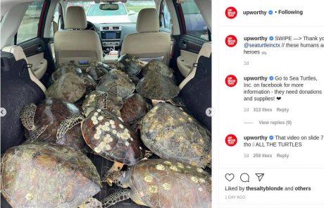 Kako lepo je videti sočutje do vseh živih bitij: V Teksasu ljudje pred polarnim mrazom množično rešujejo morske želve in jih vozijo na toplo